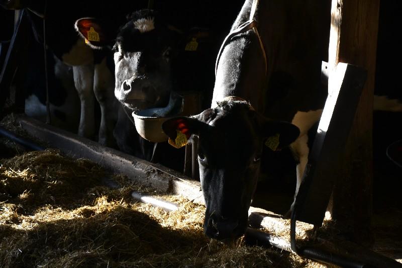 Melkvee aan het kuilgras