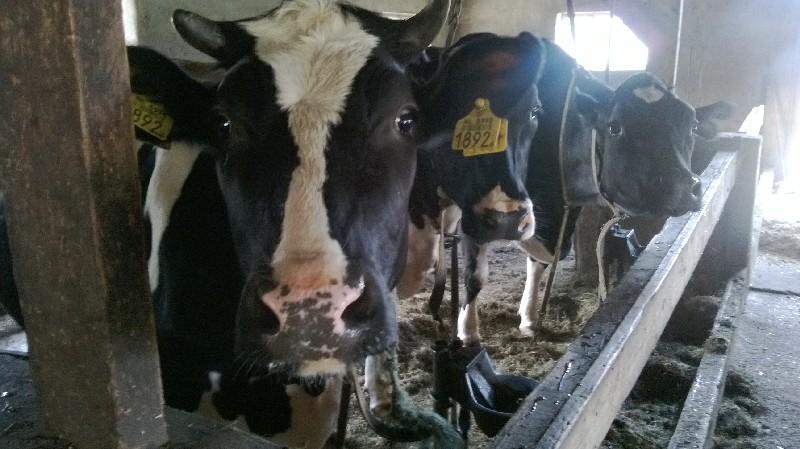 Koeien Blommendal