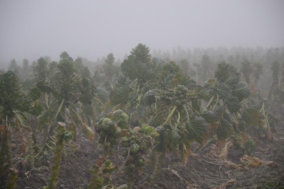 Spruitkool Mist - Bommelerwaard Aailand