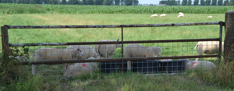 Schapen bij het hek - Platteland, Zomer